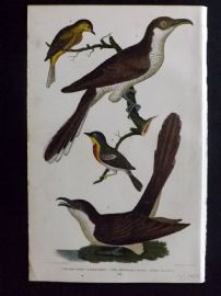 Alexander Wilson 1877 Bird Print. Carolina Cuckoo, Black Billed.
